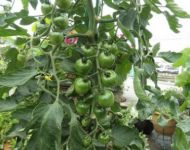 Ripening Tomatoes-July 2015