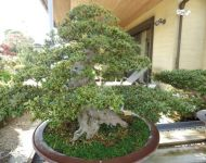 Ancient Bonsai - Series