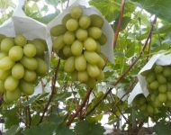 Tissue Covered Premium Grapes in Japan