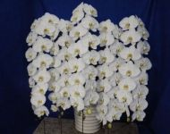 Show Stopper White Orchids